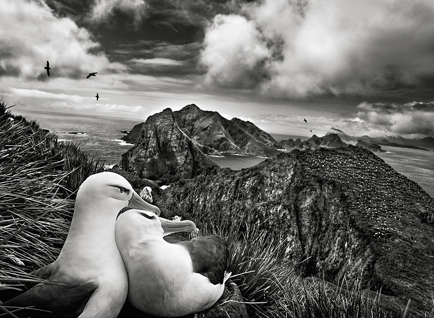 Two black-browed albatrosses nestle